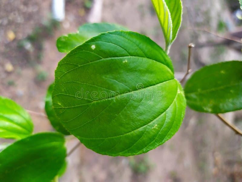 piękny natura liścia zieleni owal Ziziphus jujuby młyn obraz royalty free