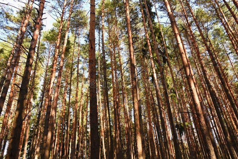 Piękny naturalny lasowy tło Iglaści drzewa na pięknym słonecznym dniu Relaks w naturze fotografia stock