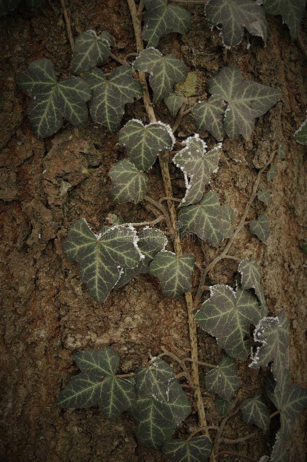 Piękny naturalny tło bluszcz opuszcza na barkentynie drzewo fotografia royalty free