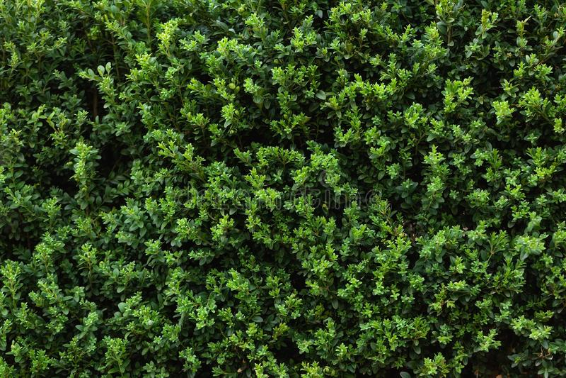 Piękny naturalny tło, Zieleni liście izoluje żywopłot jako tło świeży boxwood obraz stock