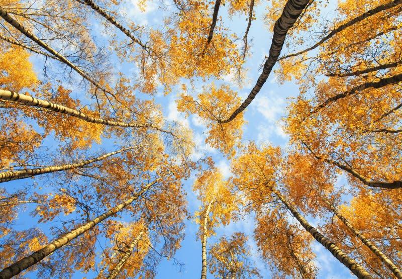 Piękny naturalny widok na koronie brzoza z Golem spod spodu zdjęcie stock