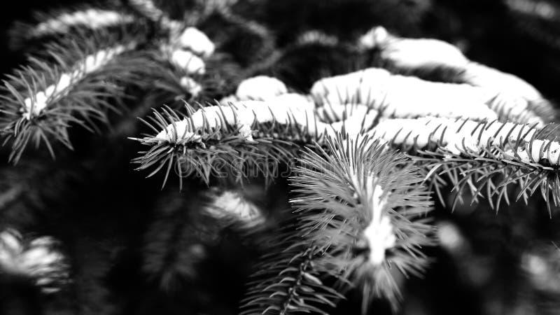 Piękny naturalny zimy tło gałąź zakrywali śnieżnego sosny drzewa Zamarznięta gałąź w zima lesie Zamkniętym w górę zdjęcia stock