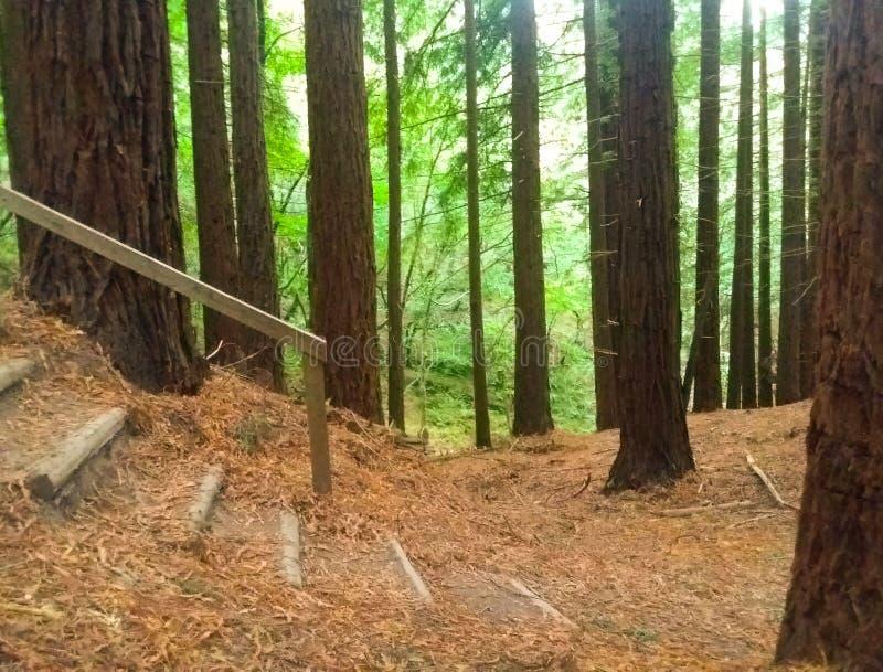 Piękny natury tło z schody lokalizować między drzewami sekwoja las z zielonymi liśćmi zdjęcie stock