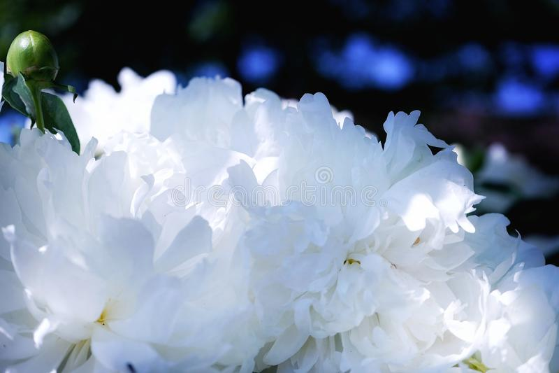 piękny natury zakończenia outdoors peoni biały zakończenie zdjęcia royalty free