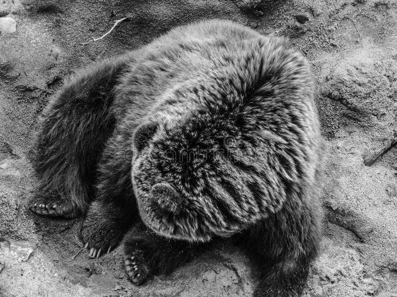 Piękny niedźwiedź fotografia stock