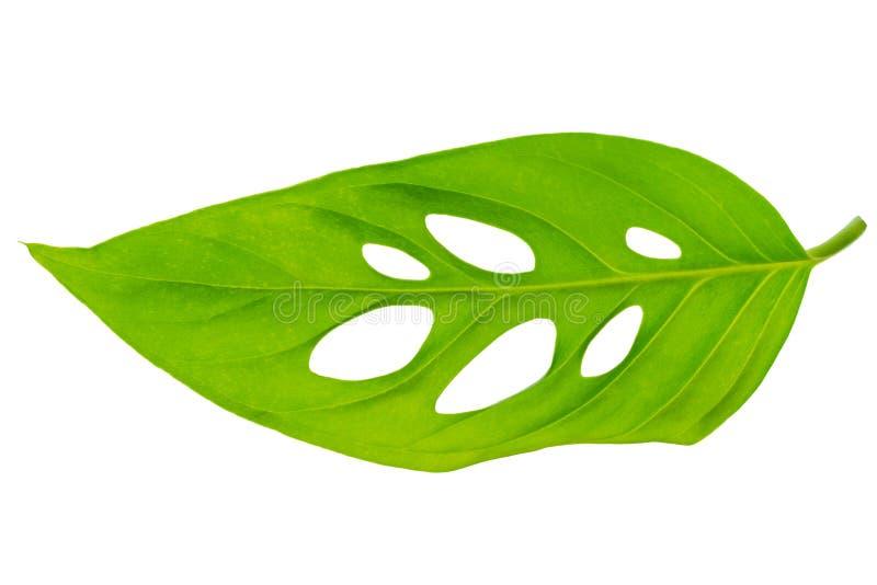 Piękny niezwykły zielony monstera (var expilata) liść jest odizolowywa zdjęcia royalty free
