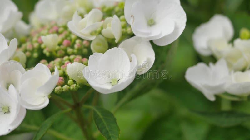 Piękny Oakleaf hortensi kwitnienie w porze deszczowa zdjęcia stock