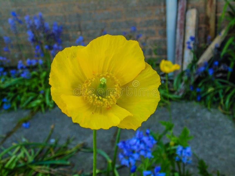 Piękny obrazek żółty kwiat fotografia royalty free