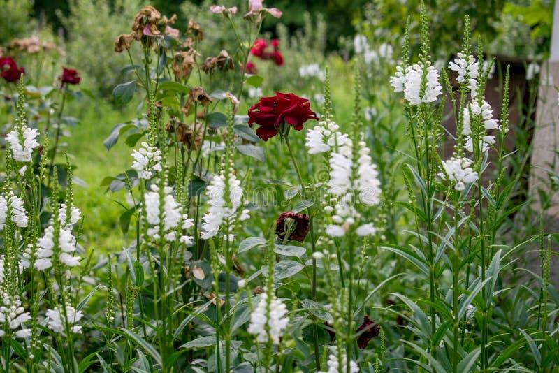 Piękny obrazek kwiatu ogród na letnim dniu zdjęcia stock