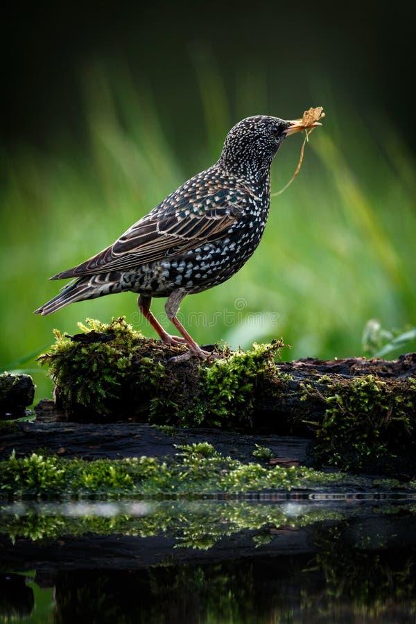 Piękny obrazek Pospolity szpaczek - Sturnus vulgaris Ptak na zamazanym zielonym tle zdjęcie royalty free