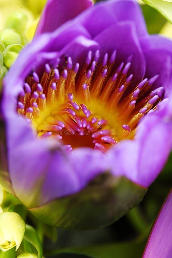 Piękny ognisty żółty sedno purpury kwitnie makro- zbliżenie obrazy royalty free