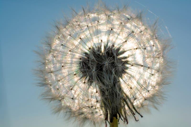Piękny olśniewający dandelion w słońcu tło abstrakcjonistyczna natura zdjęcia stock