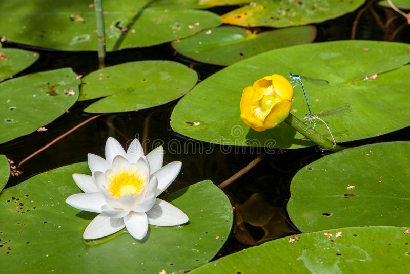 Piękny olśniewający lotosowy kwiat z żółtym kwiatem i dragonflis obrazy stock