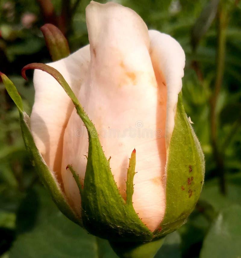 Piękny pączek no kwitnie róże fotografia stock