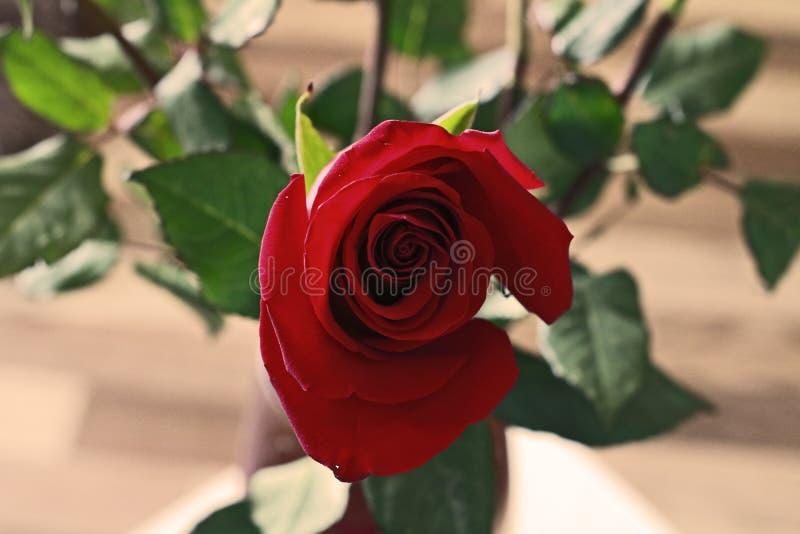 Piękny pączek rewolucjonistki róża na Blured tle obrazy stock