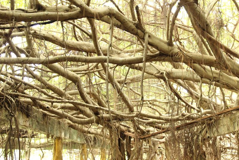 Piękny płaczący figi drzewo obrazy royalty free