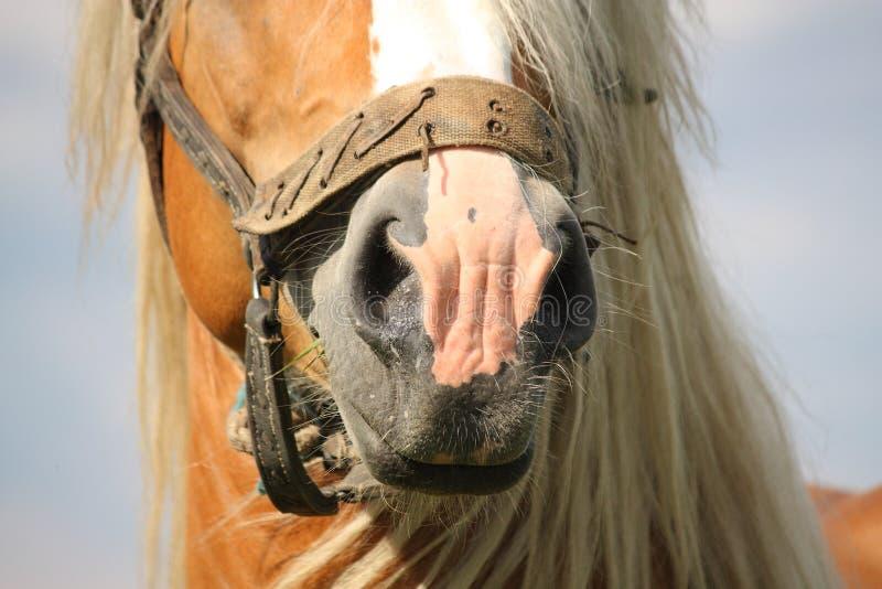 Piękny palomino łyknięcia końskiej głowy zakończenie up obraz stock