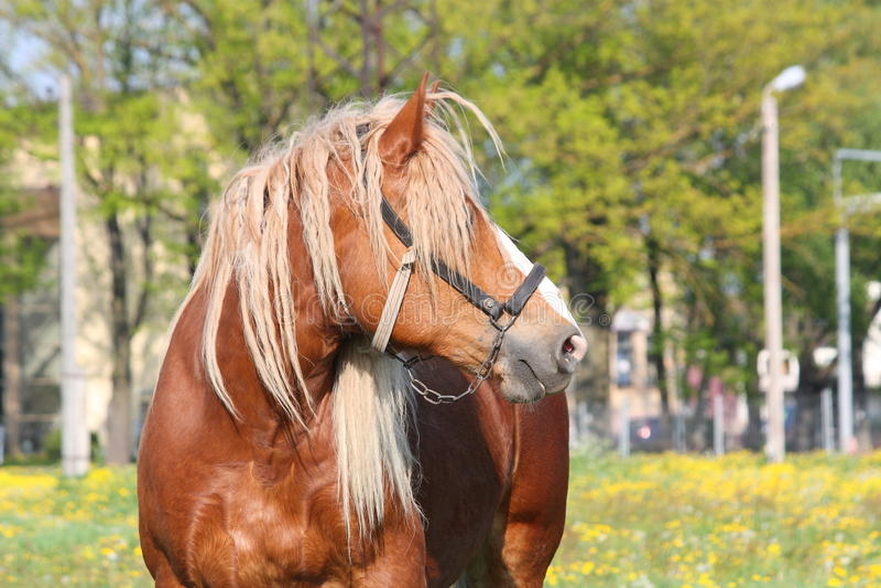 Piękny palomino łyknięcia konia portret fotografia stock