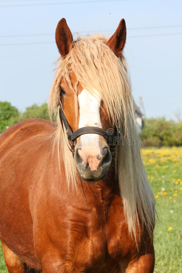 Piękny palomino łyknięcia konia portret obraz stock