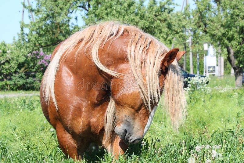 Piękny palomino łyknięcia konia portret zdjęcie royalty free