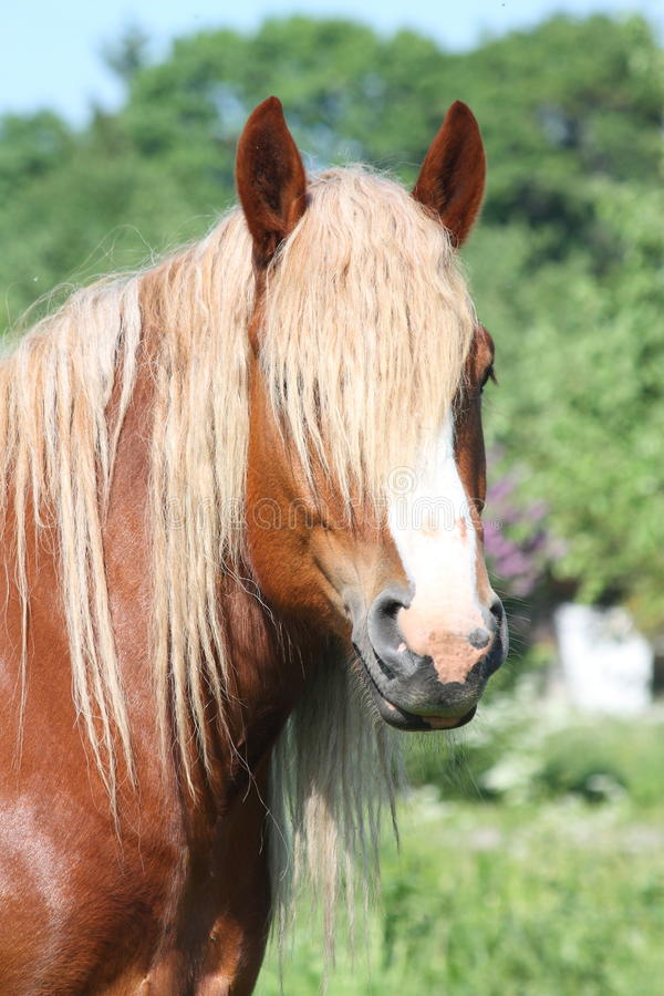 Piękny palomino łyknięcia konia portret obrazy stock