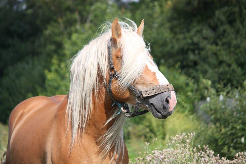Piękny palomino łyknięcia konia portret fotografia royalty free