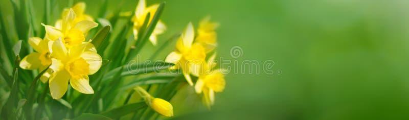 Piękny Panoramiczny wiosny tło Z Daffodils kwiatami zdjęcie stock