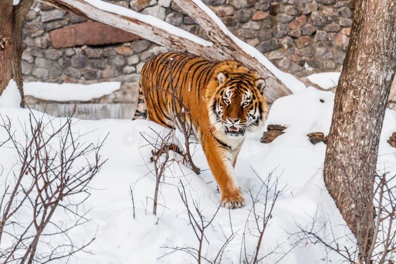 Piękny panthera Tigris na śnieżnej drodze zdjęcie stock