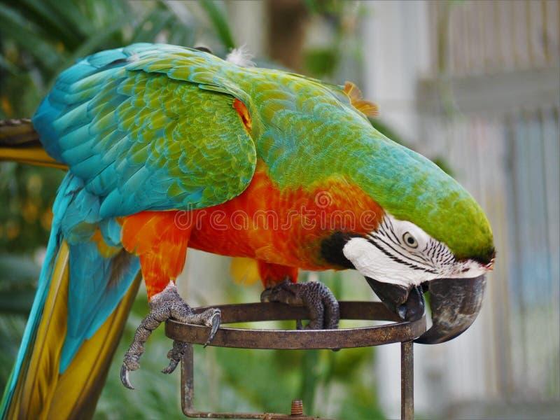 Piękny papuga, kolorowy ptak w zoo obraz royalty free