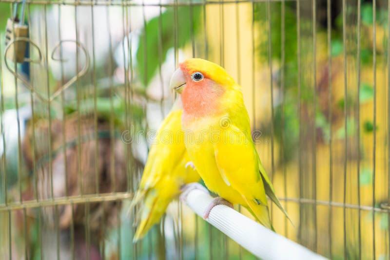 piękny papuzi lovebird zdjęcie stock