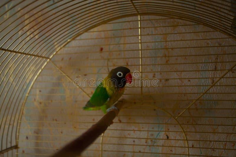 Piękny papuzi lovebird obsiadanie fotografia royalty free