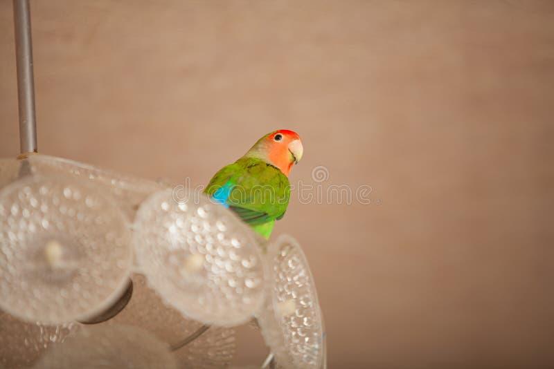 Piękny papuzi lovebird obsiadanie obraz royalty free