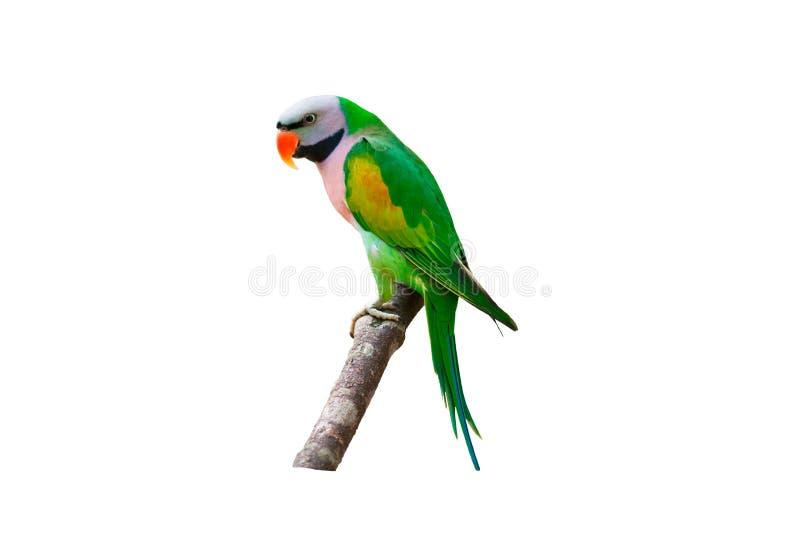 Piękny papuzi ptak na gałąź odizolowywającej na białym tle zdjęcia royalty free