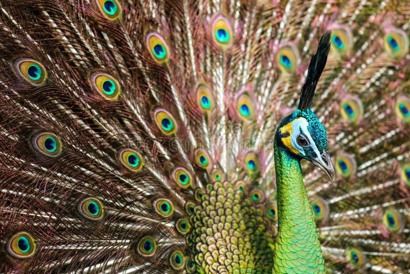 Piękny paw - szczegół głowy & ogonu piórka zdjęcie royalty free