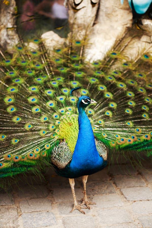 Piękny paw wystawia jego upierzenie zdjęcia royalty free