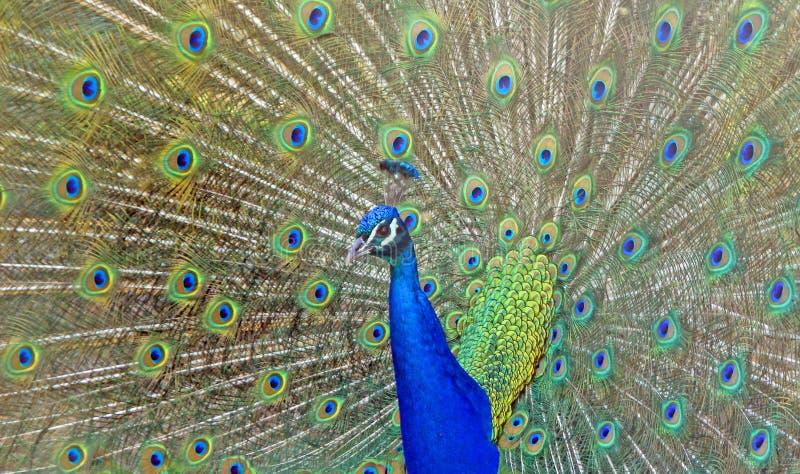 Piękny paw Wystawia ogonów piórka zdjęcia royalty free