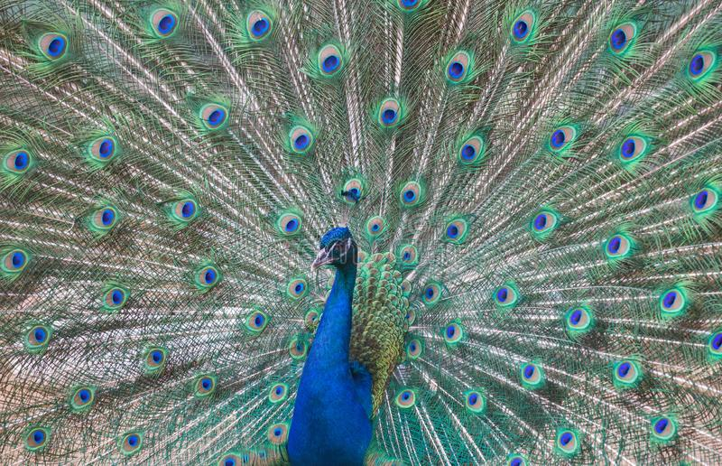 Piękny paw z zielonym i błękitnym ogonem fotografia stock