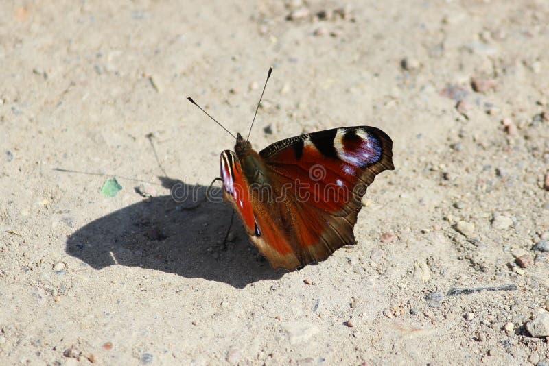 Piękny Pawi motyl, Inachis io fotografia royalty free