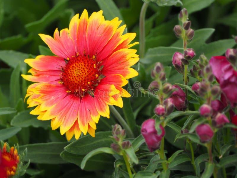 Piękny pełny kwiat Arizona słońca Powszechny kwiat zdjęcia stock