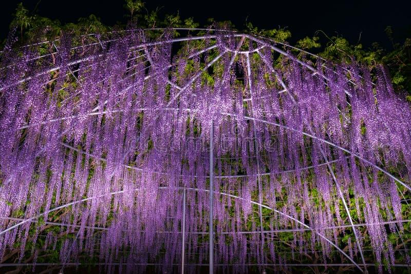 Piękny pełny kwiat purpur menchii żałości okwitnięcia drzew trellis obrazy stock
