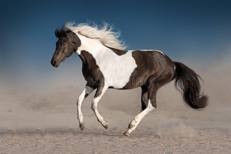 Piękny piebald koń zdjęcia stock