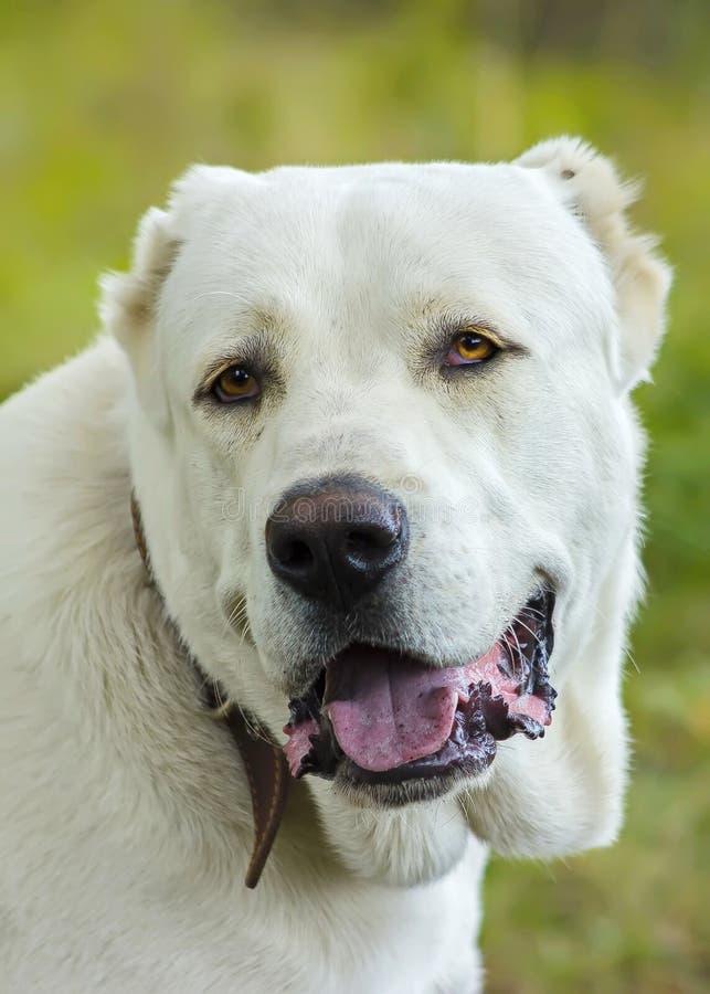 piękny pies obraz royalty free