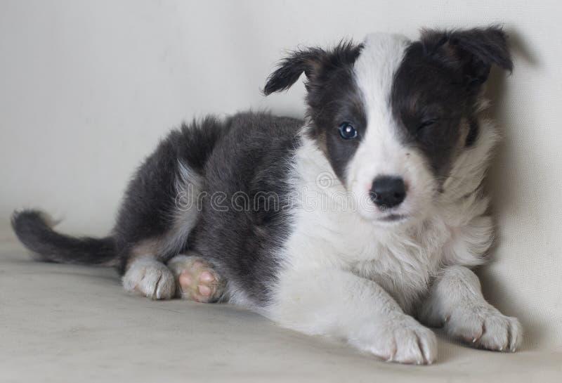 Piękny pies mruga oko patrzeje kamery boder collie zdjęcia stock