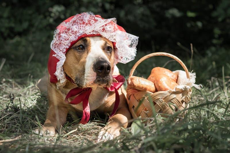 Piękny pies w Halloween baśniowym kostiumu mała czerwona nakrętka fotografia royalty free