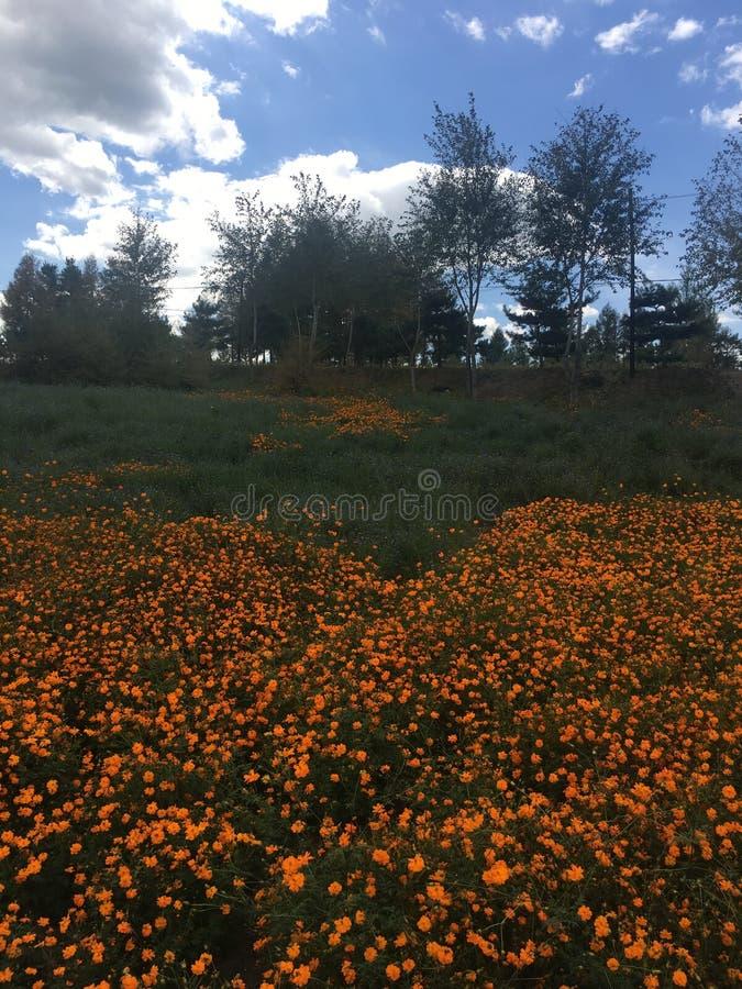 Piękny plenerowy stokrotka kwiat w parku i naturze zdjęcie royalty free