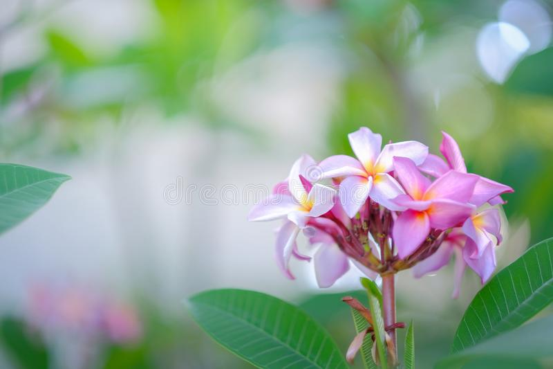 Piękny Plumeria kwiat w ogródzie zdjęcie royalty free