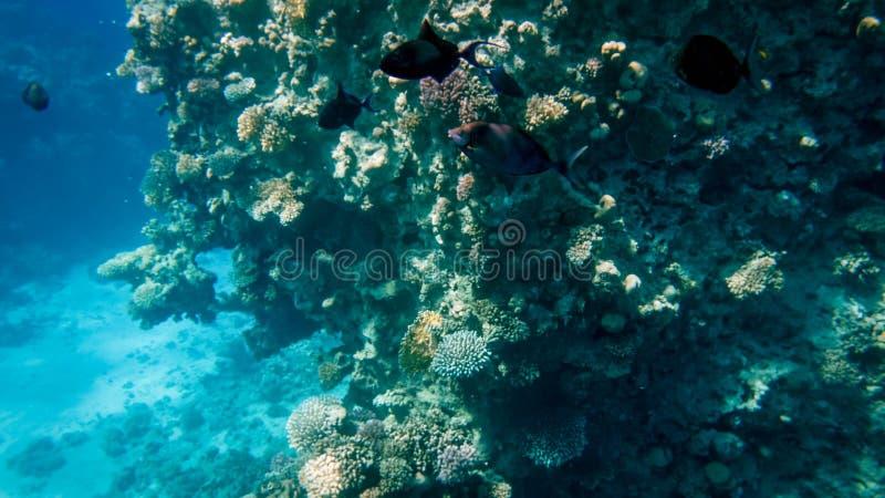 Piękny podwodny seascape kolorowa rafa koralowa i udziały tropikalne ryby pływa wokoło obraz stock