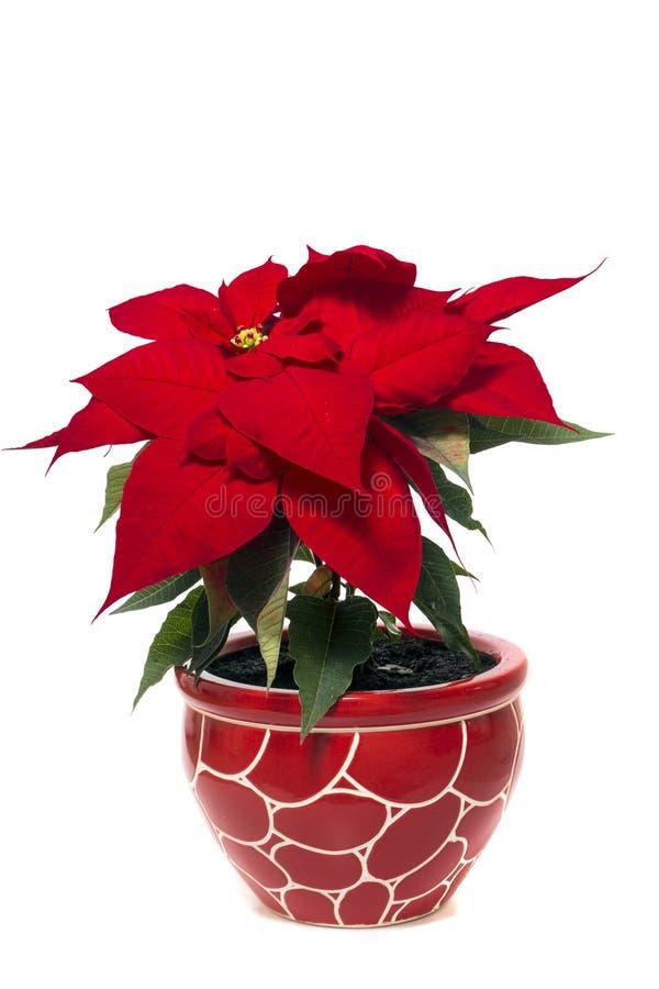 Piękny poinsecja kwiat (euforbii pulcherrima) zdjęcia royalty free