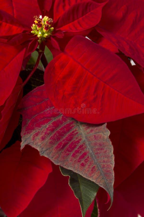 Piękny poinsecja kwiat (euforbii pulcherrima) fotografia royalty free