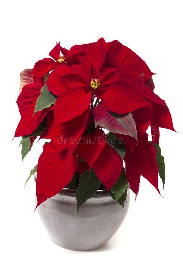 Piękny poinsecja kwiat (euforbii pulcherrima) obrazy royalty free